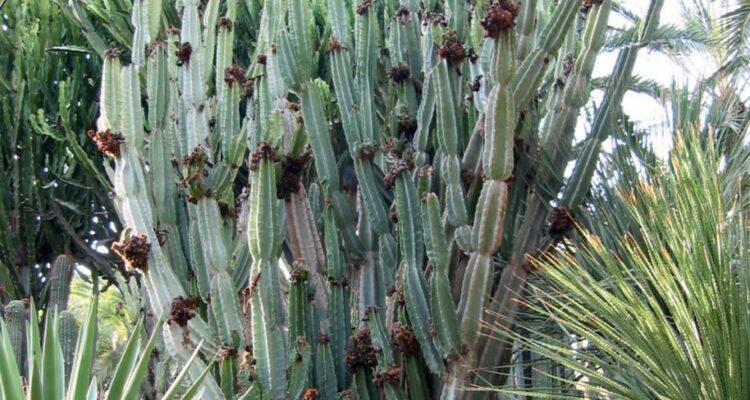 Cereus peruvians