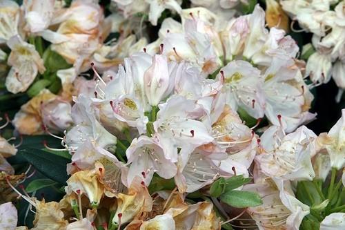 Rhododendron catawbiense Album - Jak poznáte rané a pozdní rododendrony a proč se má rododendronům odstraňovat odkvetlé květenství