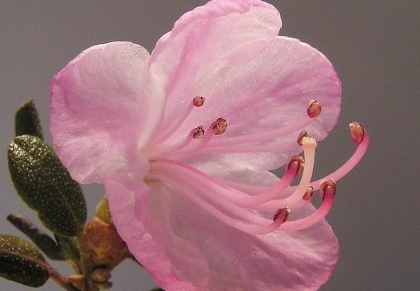 Rhododendron ledebourii - Jak poznáte rané a pozdní rododendrony a proč se má rododendronům odstraňovat odkvetlé květenství