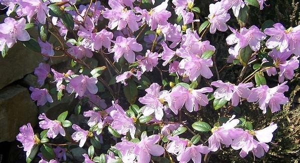 Rhododendron praecox - Jak poznáte rané a pozdní rododendrony a proč se má rododendronům odstraňovat odkvetlé květenství