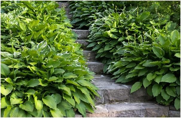 hosta rostlina - Oblíbená rostlina zahradních architektů: hosta