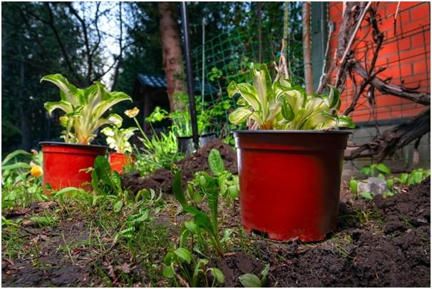 hosty - Oblíbená rostlina zahradních architektů: hosta