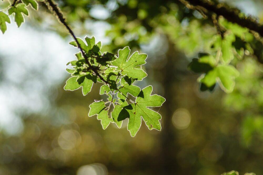 javor babyka - Nízké javory můžete vysadit na jakékoliv zahradě