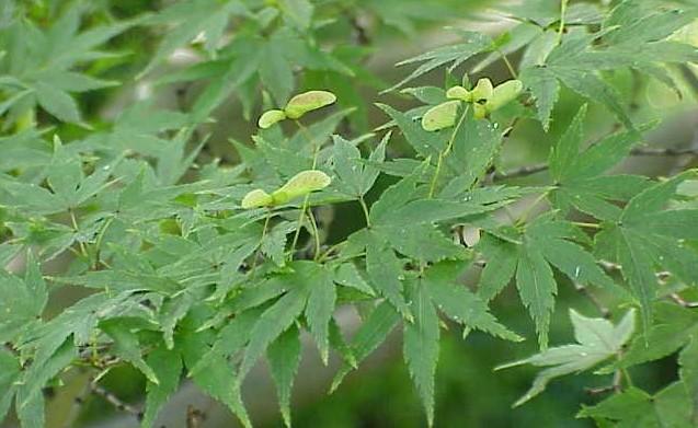 javor dlanitolisty - Nízké javory můžete vysadit na jakékoliv zahradě