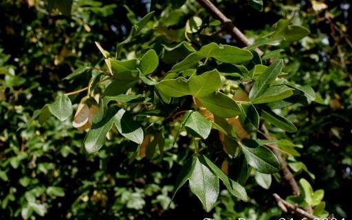 javor montpelliersky - Nízké javory můžete vysadit na jakékoliv zahradě