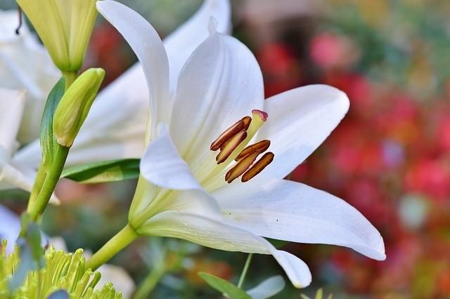 lilie - Květomluva stokrát jinak aneb jaké květiny vybrat pro paní učitelku