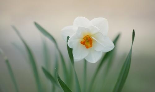 narcis - Květomluva stokrát jinak aneb jaké květiny vybrat pro paní učitelku