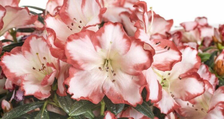 rhododendron kvet