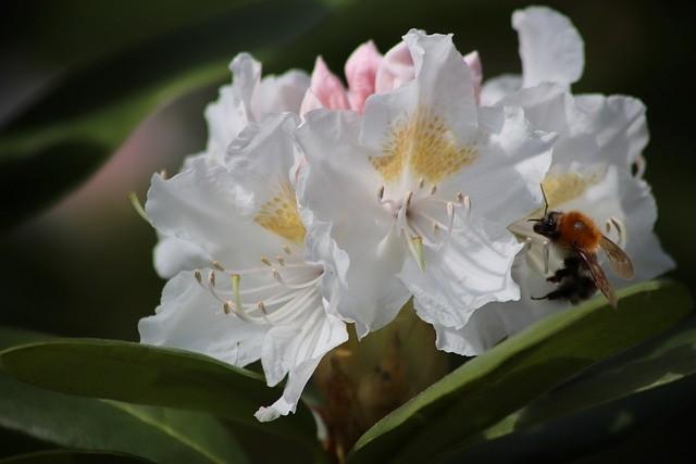 rhododendron - Jak poznáte rané a pozdní rododendrony a proč se má rododendronům odstraňovat odkvetlé květenství