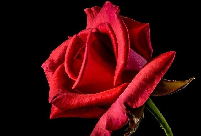 ruze - Květomluva stokrát jinak aneb jaké květiny vybrat pro paní učitelku