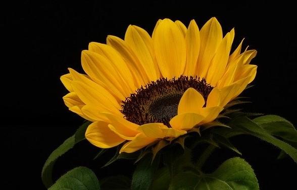 slunecnice - Květomluva stokrát jinak aneb jaké květiny vybrat pro paní učitelku