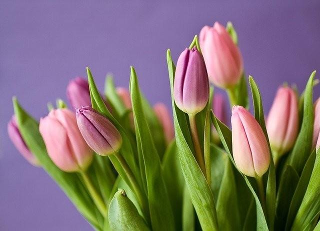tulipan - Květomluva stokrát jinak aneb jaké květiny vybrat pro paní učitelku
