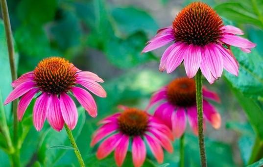 echinacea - Proti plísni nehtů a nohou bojujte čistotou a bylinkami