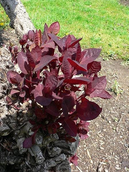 Cotinus coggygria - Ruj obvejčitá a ruj vlasatá se hodí jako ozdoba do každé zahrady