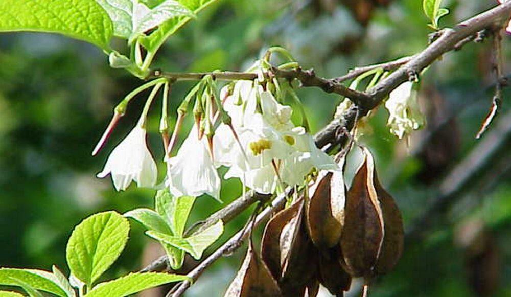 Halesia - Halézie: To jsou malé i velké okrasné keře a stromy do zahrady