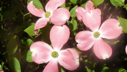 drin kvetnaty