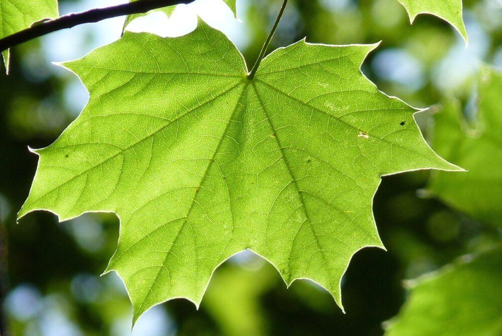 javor - Proč si jako solitéru do zahrady pořídit právě javor střechovitý