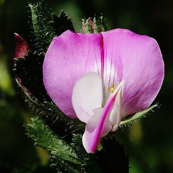 jehlice trnita - Kořeny jehlice trnité sbírejte na podzim