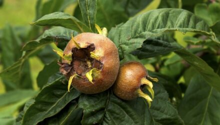 mispule plod