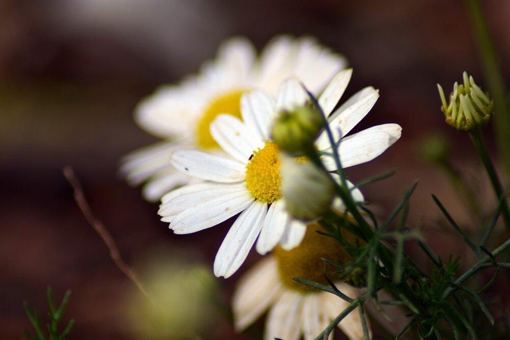 bylinka - Víte, že léčivé rostliny se dají i šlechtit