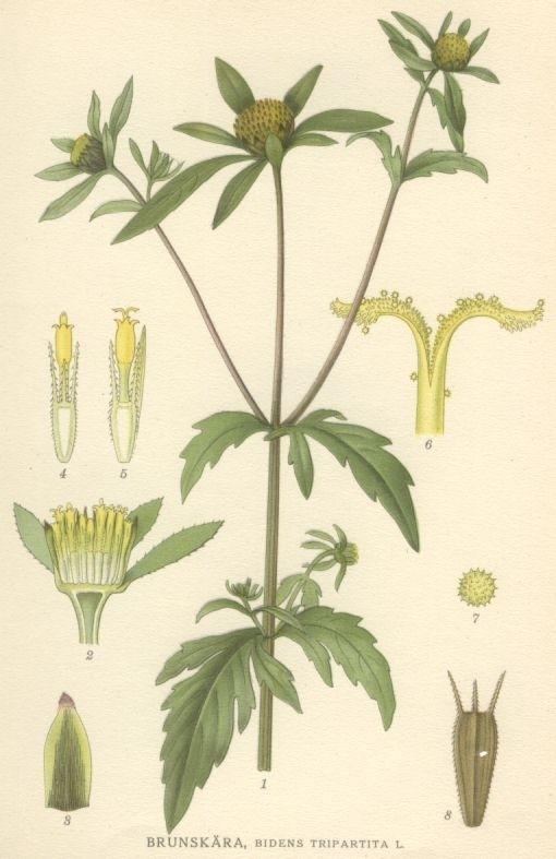 dvojzubec - Dvouzubec trojdílný: Nenápadná bylinka s překvapivým účinkem