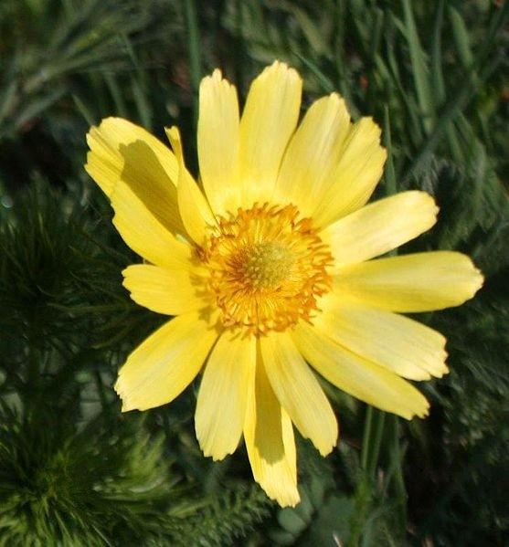 hlavac - Sbírat, nebo pěstovat léčivé rostliny