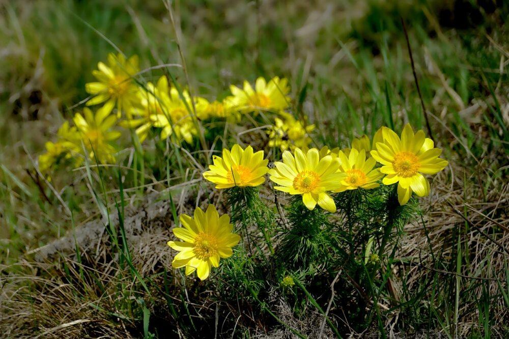 hlavacek - Hlaváček jarní je v přírodě poměrně vzácný, ale můžete si ho vypěstovat na vlastní zahrádce
