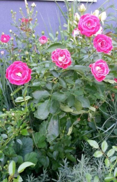 ruze marie rottrove 386x600 - Marie Rottrová: S kým nejraději pracuje na zahradě a která květina je po ní pojmenována