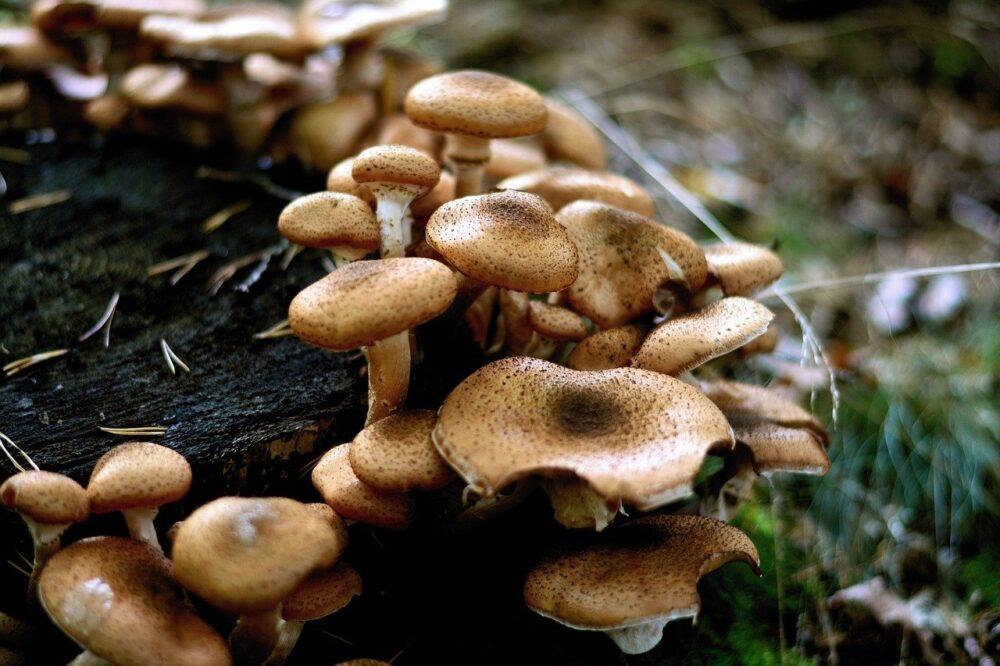 vaclavka - Podzimní houbařská sezóna přeje václavkám. Co je dobré vědět o zpracování