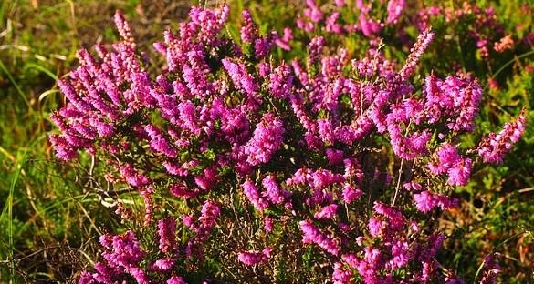 vres kvet - Vřes uklidňuje, pomáhá s nespavostí a je protizánětlivý