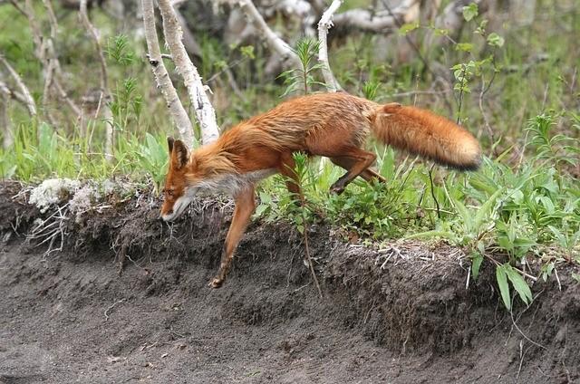 liska zvire - Lišku na maso nenalákáte, lepší bude jiná laskomina