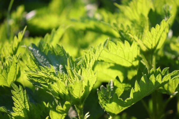 kopriva 600x400 - Na prostatu pomohou bylinky. Víte, které to jsou?