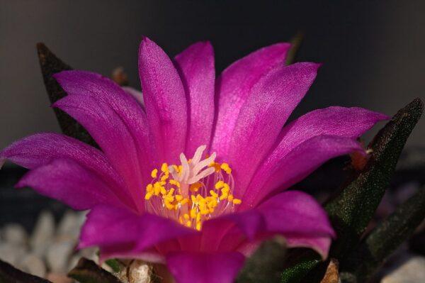 Ariocarpus 600x399 - Ariocarpus agavoides – jeden z nejkrásnějších kaktusů tohoto rodu