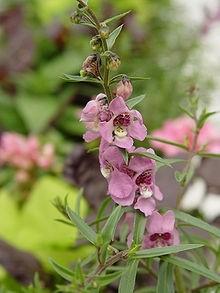 angelonia - Angelonia: Okrasná rostlina vhodná na přímé slunce a do nedostatku vláhy