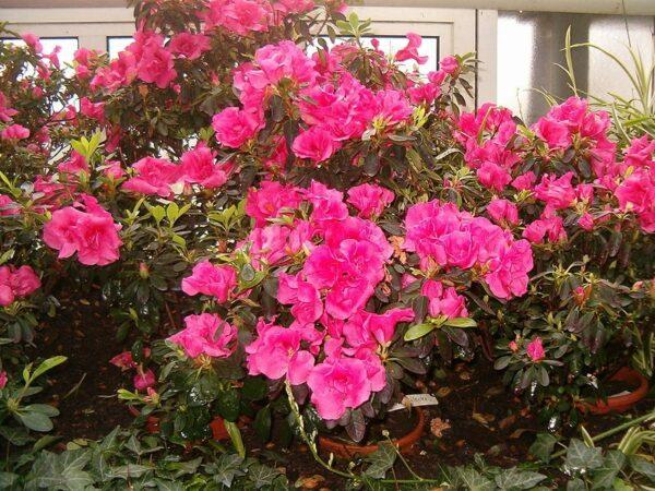 azalka 600x450 - Jak předcházet nemocem azalek a rododendronů