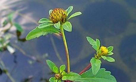 dvouzubec trojdilny - Dvouzubec – plevel, okrasná rostlina i léčivá bylinka