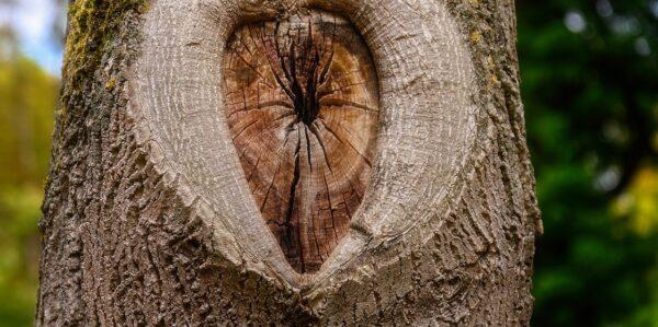 kmen 600x299 - Jak vyzrát na korovou nekrózu u ovocných dřevin