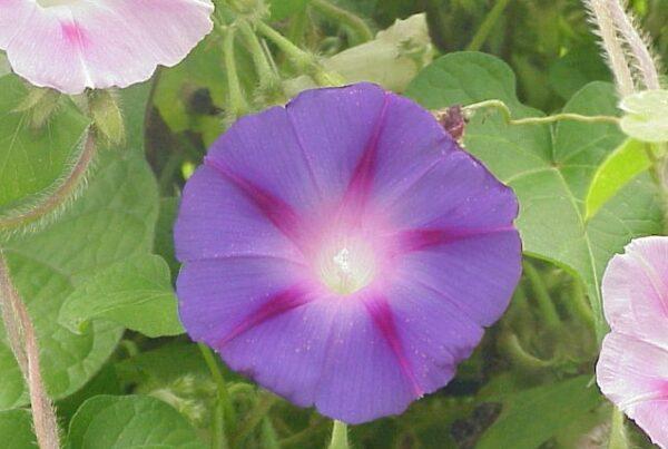 povijnice nachova 600x403 - Povíjnice nachová – letnička s velkými květy