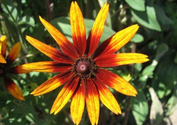 trapatka srstnata 600x423 - Třapatka srstnatá – žlutá ozdoba do zahrady