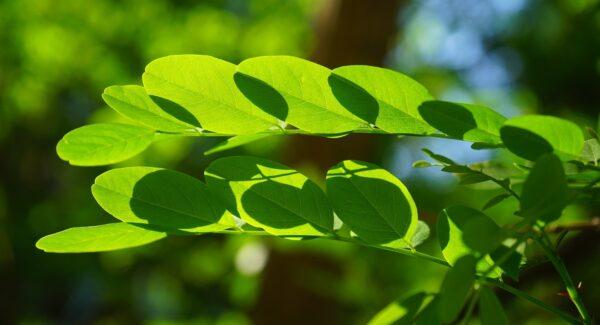 trnovnik 600x325 - Trnovník akát jako medonosná rostlina i nepřítel – čím ho nahradit a kdy je to vhodné