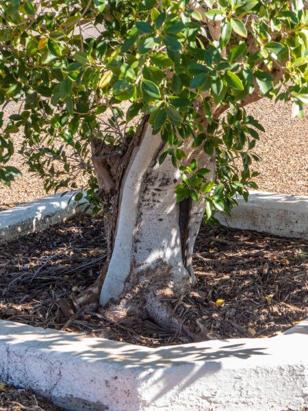 ficus 450x600 - Falešná bonsaj, která potěší i úplné začátečníky - ficus ginseng