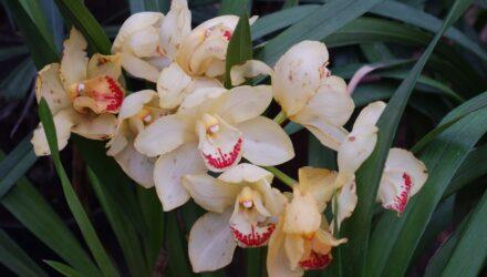 orchidei