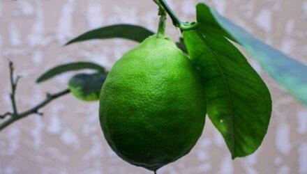 citronik