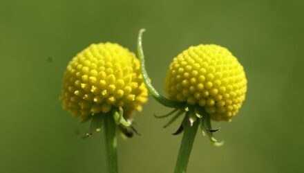 jahodova trava