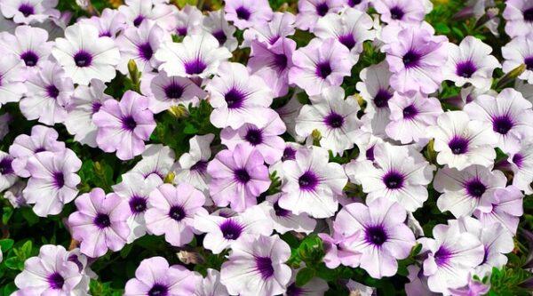 petunie 600x333 - Tajemství bohatých květů petúnií spočívá ve správné zálivce i hnojení
