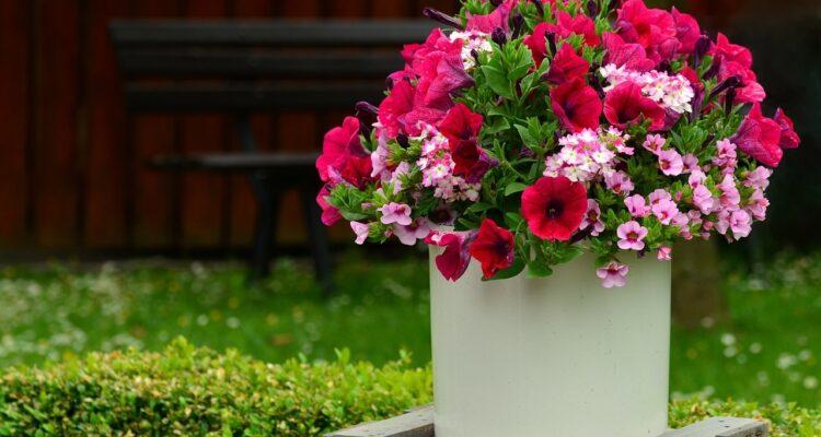petunie zahradni