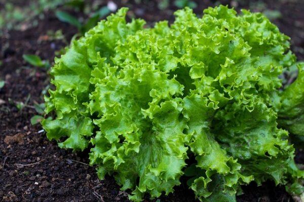 salat zelenina 600x399 - Tajemství perfektní úrody salátu má na dosah každý zahrádkář