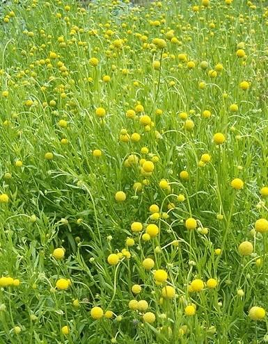 trava jahodova - Jahodovou trávu zná málokdo. Přitom nabídne nádherné aroma, pestré využití i jednoduchou péči