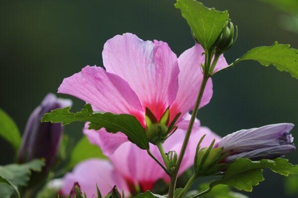 ibisek kvet 600x400 - Ibišek syrský: Nevšední dekorace zahrady pro všechny milovníky květů