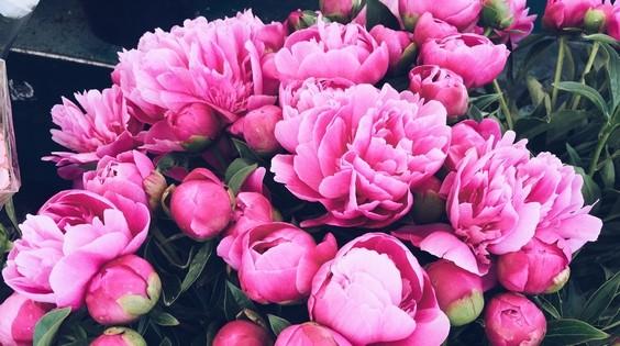 pivonky kvet - Pivoňky si zaslouží péči i během pokročilého léta, umí se za ni odvděčit